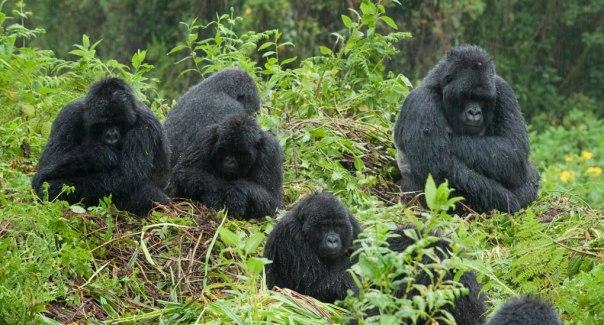 Gorillas-in-Bwindi-Mgahinga1