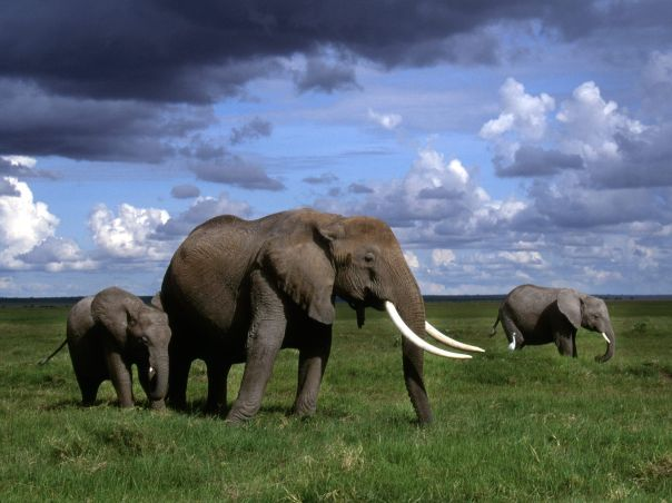 African_Elephants_Amboseli_National_Park_Kenya