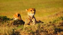 cheetah-737417
