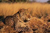 Leopard_CNT_9oct12_alamy_b