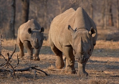 An endangered east African black rhino and her calf walk in Tanzania's Serengeti park