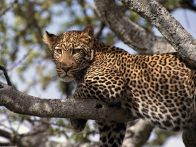 leopard-tanzania
