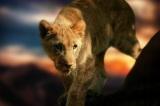 lion-cub-580906