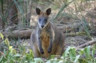 wallaby-226274