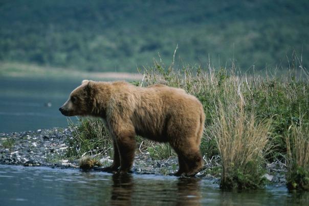 bear-917217_1920